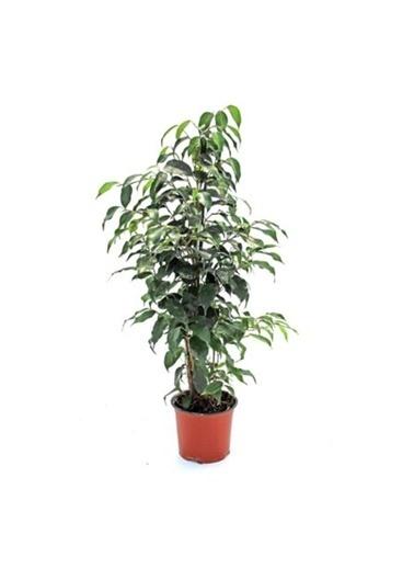 Çiçek Antalya Çiçek Antalya Ficus Ficus Benjamin Daniella Yeşil